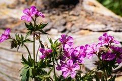 Viscosissimum de géranium de wildflower de géranium collant, parc national de Yellowstone image stock