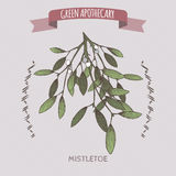 Viscum album aka mistletoe color sketch. Green apothecary series. Great for traditional medicine, gardening or cooking design royalty free illustration