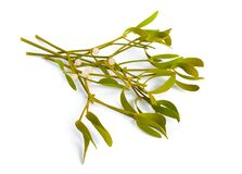 Viscum album, commonly known as European mistletoe, common mistletoe or simply as mistletoe, mistle. Isolated