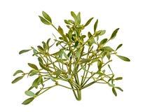 Viscum album, mistletoe branch, family Santalaceae, white berry. Fruits, close up royalty free stock image