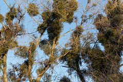 Viscum bushes in a tree. In winter royalty free stock photos