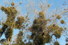 Viscum bushes in a tree. In winter stock image