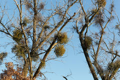 Viscum bushes in a tree. In winter royalty free stock photography