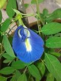 Vishnukanta kwiat Obrazy Royalty Free