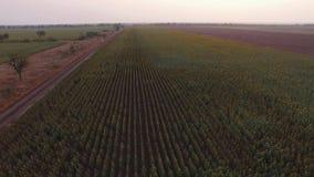 Visión aérea desde el alto en el campo de girasoles almacen de video
