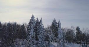 Visión aérea: El bosque hermoso del invierno, en los árboles coníferos de la nieve, vuela entre los árboles almacen de video
