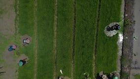 Visión aérea los granjeros asiáticos que producen el arroz en campo de arroz en Asia almacen de video