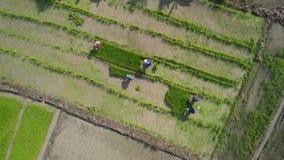 Visión aérea los granjeros asiáticos que producen el arroz en campo de arroz en Asia almacen de metraje de vídeo