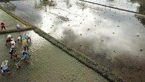 Visión aérea los granjeros que plantan la planta de arroz en campo de arroz en Asia metrajes