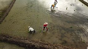 Visión aérea los granjeros que plantan la planta de arroz en campo de arroz en Asia almacen de metraje de vídeo