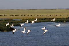 Visión aérea pastoral con los pelícanos blancos que vuelan sobre el lago Imagen de archivo libre de regalías