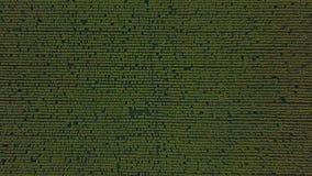 Visión aérea: vuelo de la cámara sobre el campo del girasol en la puesta del sol Abejón que asciende El girasol es floreciente almacen de metraje de vídeo