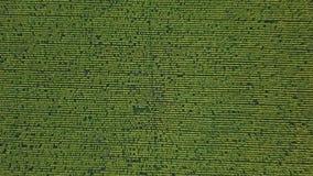 Visión aérea: vuelo de la cámara sobre el campo del girasol en la puesta del sol Abejón que desciende El girasol es floreciente almacen de video