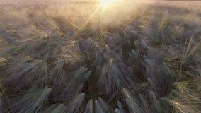 VISIÓN AÉREA: Vuelo sobre el campo de trigo iluminado por el sol hermoso en puesta del sol almacen de video