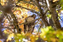 Visión cercana en el halcón rojo-atado que se sienta dentro de una corona del árbol que mira abajo fotografía de archivo libre de regalías