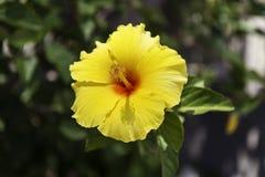 Visión cercana para arriba de hibisco amarillo Imagenes de archivo