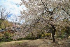 Visión de la flor de cerezo Imágenes de archivo libres de regalías