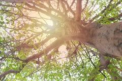 Visión debajo del árbol con las ramas del árbol y de la luz Fotografía de archivo
