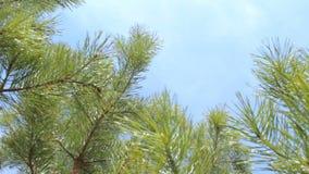 Visión desde la tierra: nubes del cielo azul del fondo de las ramas de árbol de abeto almacen de video