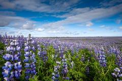 Visión en los llanos islandeses durante verano Fotografía de archivo libre de regalías