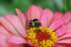 Visión macra desde el frente de la bomba rayada mullida caucásica del abejorro Fotografía de archivo libre de regalías