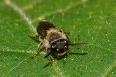 Visión macra desde el frente de la pequeña abeja salvaje caucásica en la hoja verde Fotografía de archivo