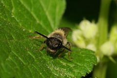 Visión macra desde el frente de la pequeña abeja salvaje caucásica en la hoja verde Imagenes de archivo