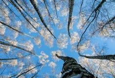 Visión natural desde la parte inferior a los tops del cov de los árboles de abedul Foto de archivo libre de regalías