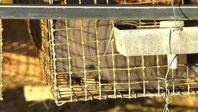 Visión que cultiva, protección animal, visión gris en una jaula del metal Visión europeo, lutreola del Mustela, mirando con la re almacen de video