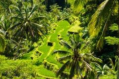 Visión sobre campos del arroz de la terraza y árboles de coco imagen de archivo libre de regalías
