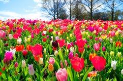 Visión sobre el campo de tulipanes en el jardín de Keukenhof, Países Bajos Foto de archivo