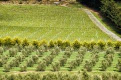 Visión sobre viñedo grande y la plantación verde oliva Fotos de archivo libres de regalías