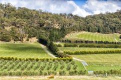 Visión sobre viñedo grande y la plantación verde oliva Fotografía de archivo