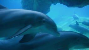 Visión subacuática de los delfínes de bottlenose agradables en Seaworld almacen de video