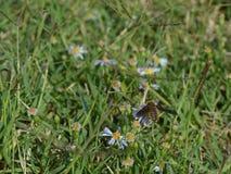 Visión superior, foto macra de una abeja que chupa el néctar de un pequeño wildflower Foto de archivo libre de regalías