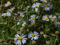 Visión superior, foto macra de una pequeña avispa negra que está chupando el néctar de un pequeño wildflower Foto de archivo