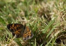 Visión superior, foto macra de una pequeña mariposa que está chupando el néctar de un pequeño wildflower Imagen de archivo libre de regalías