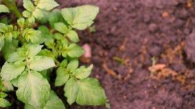Visión superior, primer del arbusto joven de la patata Las filas de brotes verdes jovenes de patatas están creciendo en el campo  almacen de video