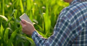 Visión trasera: un granjero moderno con una tableta en sus manos que tocan las hojas del maíz en el campo almacen de video