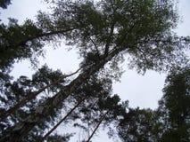 Visión a través de los tops del árbol de abedul Imágenes de archivo libres de regalías