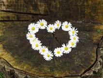Visi?n superior Ramo en forma de corazón de las flores de la margarita en fondo del tocón de árbol Perennis del Bellis fotografía de archivo libre de regalías