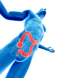 Visible colon. 3d rendered illustration of a male posing - visible colon Stock Photo
