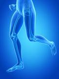 Visible leg bones Stock Image