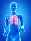 Visible lung Stock Photos