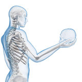 Visible skeleton Stock Image