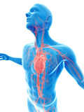Visible vascular system Royalty Free Stock Photo