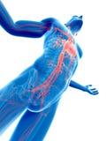 Visible vascular system. 3d rendered illustration of a male posing - visible vascular system Stock Photo