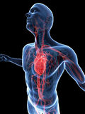Visible vascular system Royalty Free Stock Images