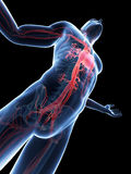 Visible vascular system Stock Photos