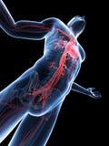 Visible vascular system. 3d rendered illustration of a male posing - visible vascular system Stock Photos